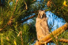 Long-eared Owl, young bird at sunset. Blink. Long-eared Owl Asio Otus, watching surroundings of pine. Taken with telephoto lens 300mm f 4 royalty free stock images