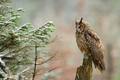 Long-eared Owl - Asio otus stock image