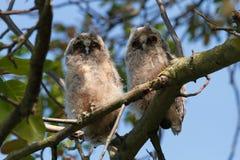 Long-eared Owl (Asio otus) Royalty Free Stock Image