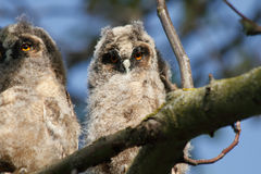 Long-eared Owl (Asio otus) Royalty Free Stock Photography