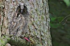 Long-eared owl (Asiootus) royaltyfri fotografi