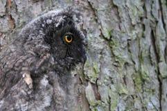 Long-eared owl (Asiootus) royaltyfria foton