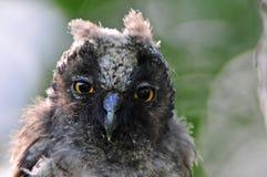 Long-eared owl (Asiootus) arkivbild