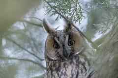Long-eared owl - Asiootusstående royaltyfri bild