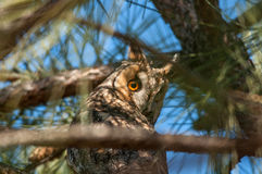 Long-eared owl. On atree Stock Image