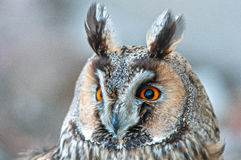 Long-eared owl. On atree Stock Photo