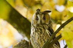 Long-eared owl between autumn leaves Royalty Free Stock Image