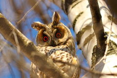 Long eared owl in birch tree. Curious wild bird looking at the camera  Asio otus Royalty Free Stock Images