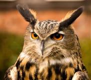 Long eared owl. Bird of prey, Preston Lancashire, UK Royalty Free Stock Photo