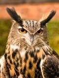 Long eared owl. Bird of prey, Preston Lancashire, UK Royalty Free Stock Photos