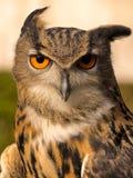 Long eared owl. Bird of prey, Preston Lancashire, UK Stock Images