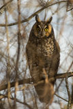 Long-eared Owl. On a branch royalty free stock images
