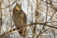 Long-eared Owl. On a branch stock photos