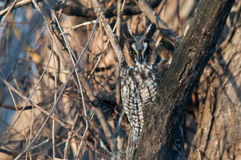 Long-eared Owl. On a branch royalty free stock photography