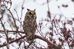 Long Eared Owl on Branch Stock Images