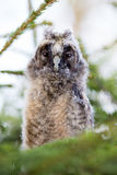 Long-eared owl chick Stock Images