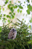 Long-eared owl chick Royalty Free Stock Photos