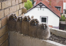 Long-eared owl Stock Photography