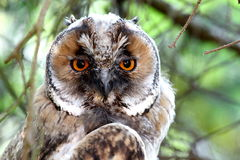 Long eared owl close-up Royalty Free Stock Photo