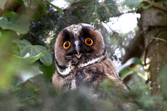 Long eared owl close-up Stock Images
