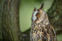 Long-eared owl close-up stock image