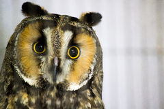 Long-Eared Owl. A close-up of a long-eared owl with white background Stock Photos