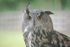 Long-Eared owl Stock Photos