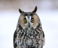 Long-eared Owl Face-to-Face. A Long-eared Owl (Asio otus) sitting on a perch with a snowy background Stock Photo
