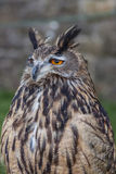 Long eared owl Stock Image