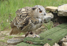 Long-eared Owl at feed. Performing Long-eared Owl sitting on the ground at feed Royalty Free Stock Photography