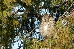 Long Eared Owl on fir tree. In Winter Royalty Free Stock Photography