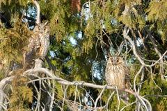 Long Eared Owl on fir tree. In Winter Royalty Free Stock Photo