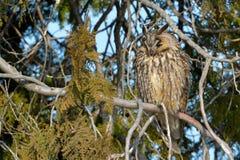 Long Eared Owl on fir tree. In Winter Stock Photography
