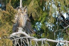 Long Eared Owl on a fir tree Stock Photos