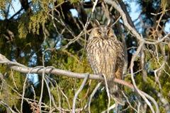 Long Eared Owl on fir tree. In Winter Royalty Free Stock Image