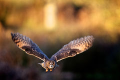 A long eared owl flying royalty free stock photo