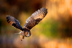 A long eared owl flying. With a autumn colour background Royalty Free Stock Photography