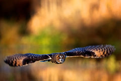 A long eared owl flying. With a autumn colour background Royalty Free Stock Photo