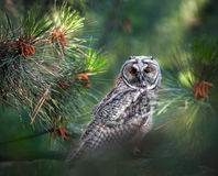 Long eared owl in the forest Royalty Free Stock Image