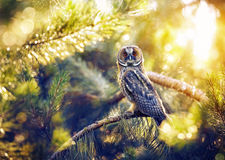 Long eared owl in the forest. Long eared owl sitting on the branch in the forest at sunlight in Kazakhstan Stock Image