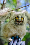 Long-eared owl on a hand Royalty Free Stock Images