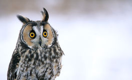 Long-eared Owl Head-shot. A Long-eared Owl (Asio otus) sitting on a perch with a snowy background Stock Images