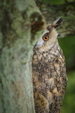 Long eared owl, hiding Stock Images
