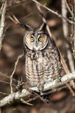 Long Eared Owl. On high alert after a dog walked by Royalty Free Stock Image