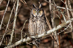 Long Eared Owl. On high alert after a dog walked by Stock Photo