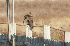 Long eared Owl. Hunting for food at BC Canada Stock Image