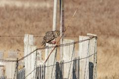 Long eared Owl. Hunting for food at BC Canada Stock Images