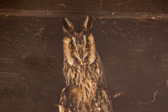Long-eared owl. It is image of long-eared owl Royalty Free Stock Image