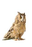 Long-eared Owl isolated on white Stock Image
