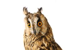 Long-eared Owl isolated on white Royalty Free Stock Photography